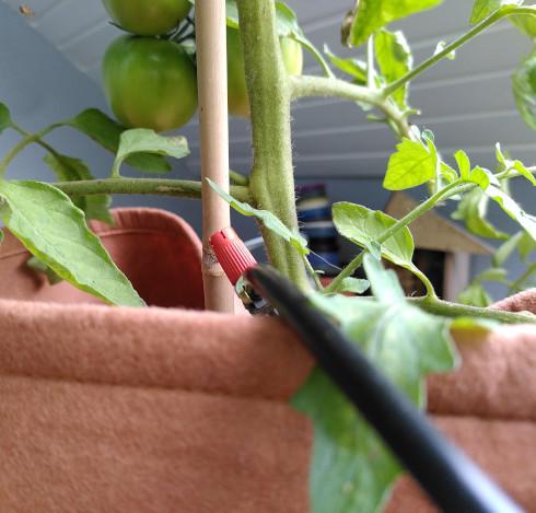 A spray nozzle near a happy tomato plant